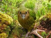 Kakapo: loro casi extinguido, huele flores, organiza torneos sabe volar