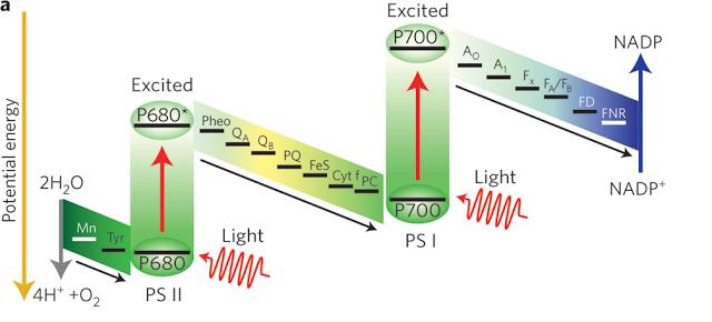 Estructura del fotosistema I y II,