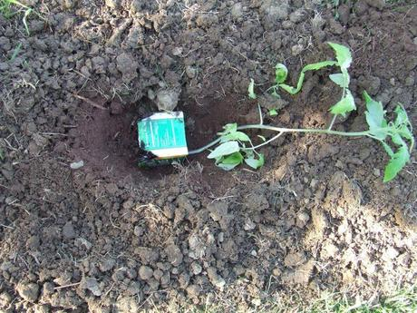cultivar-tomates-trucos-de-hortelano-zanja