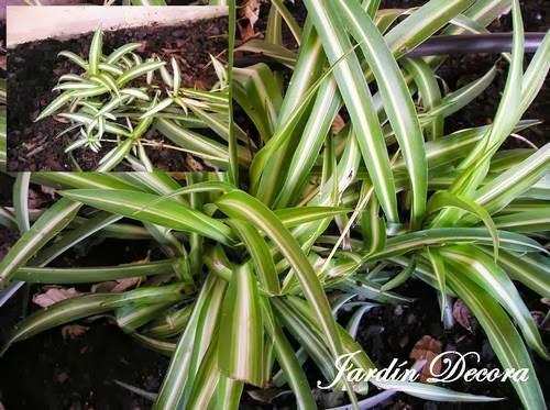 Cultivar cintas en el jard n paperblog - Plantas de interior cintas ...