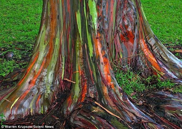 Eucalipto_arco_iris_Eucalyptus_deglupta_9 (FILEminimizer)