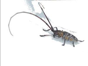 Monochamus galloprovincialis macho megustaelmedionatural