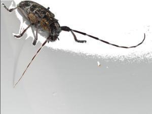 Monochamus galloprovincialis hembra megustaelmedionatural