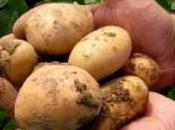 patata transgénica como mejora potencial competitividad sector