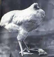 La increíble historia de Mike, el pollo sin cabeza