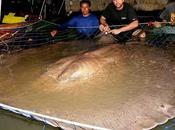 raya gigante agua dulce sudeste asiático