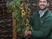 TomTato, planta produce tomates patatas