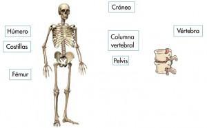 los huesos del cuerpo humano 2