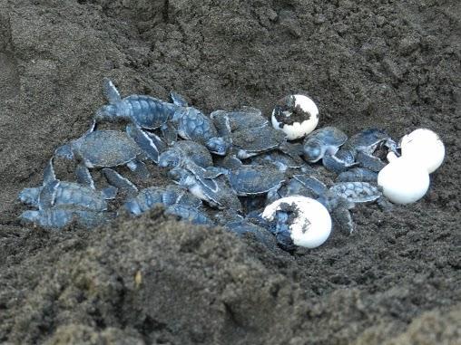 El parque nacional de tortuguero y su incre ble fauna for Tortuguero casero