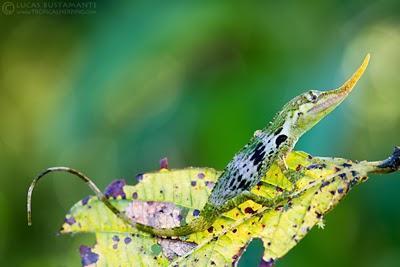 El extinto lagarto pinocho está muy vivo