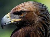 lobo, águila, lince, recuperando?