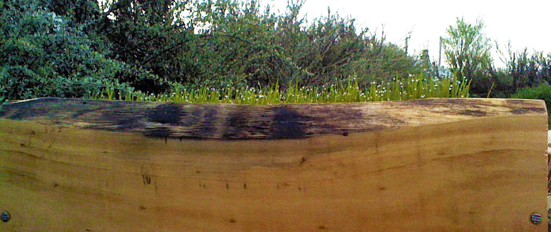 cultivar hierba de trigo en una jardinera de madera segunda parte