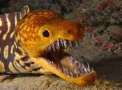 fríos aterradores dientes cristalinos morena tigre