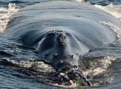 Sorprendente avistamiento ballena franca Pacífico, segundo años