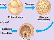 Gastrulación linajes celulares