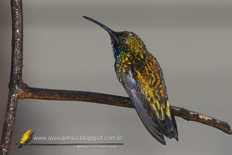 Picaflor vientre negro (Black-throated Mango) Anthracothorax nigricollis