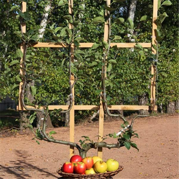 Frutales en espaldera para jardines peque os paperblog for Arboles frutales para jardin