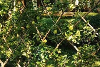 Frutales en espaldera para jardines peque os paperblog for Jardines pequenos pegados a la pared
