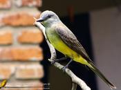 Suirirí real (Tropical Kingbird) Tyrannus melancholicus
