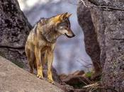 Portillo lobo