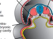 Cierre embrión formación cordón umbilical