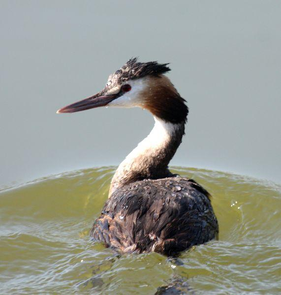 SOMORMUJO LAVANCO-PODICEPS CRISTATUS-GREAT CRESTED GREBE
