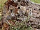 nueva terapia protege monos virus Ebola Marburg