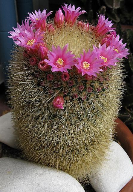 Mammillaria crassior, Mammillaria spinossisima