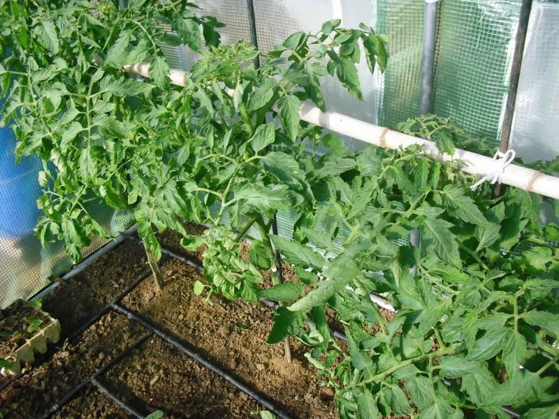 Desarrollo de las plantas de mi invernadero paperblog Plantas de invernadero