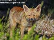 Zorro (Vulpes vulpes) Aragón Fox.