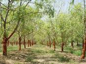 Moringa Oleífera, árbol milagro