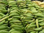 Curiosidades plátano