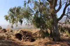 Eli Cohen, el Mossad y sus árboles espías