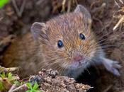 Ratones, topillos conejos