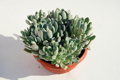 plantas de interior y otras crasas o suculentas paperblog