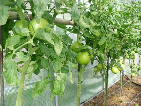 Desarrollo de las plantas de mi invernadero cap 2 for Plantas para invernadero