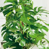 Las 10 plantas de interior mas faciles de cuidar paperblog - Plantas resistentes de interior ...