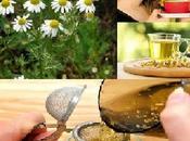 Infusiones medicinales- manzanilla