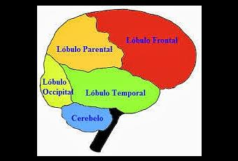 Corteza cerebral funciones superiores