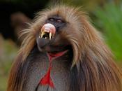 Monos simulan lenguaje humanos