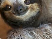 animal preferido, perezoso favourite animal, sloth