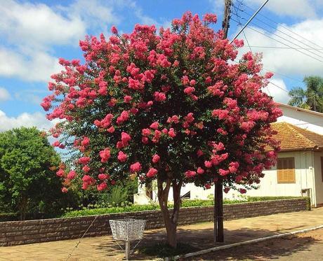 Rbol de j piter paperblog for Arboles ornamentales jardin