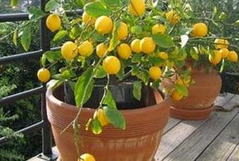 Limoneros en macetas para tu hogar paperblog for Limonero sin limones