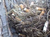 ¿Colillas nidos para eliminar parásitos?
