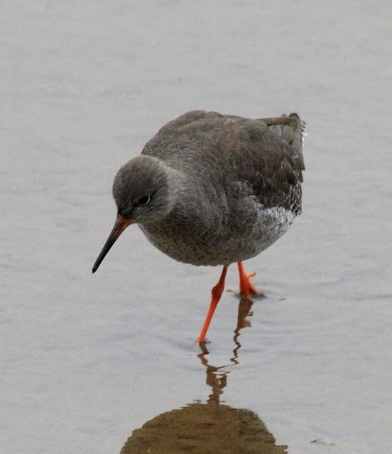 ARCHIBEBE COMÚN-TRINGA TOTANUS-COMMON REDSHANK