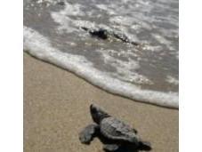 Nacen crías tortuga boba arenales Parque Natural Cabo Gata-Níjar