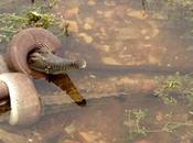 Vida animal: Serpiente devora cocodrilo entero Australia