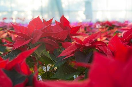 Flores de Navidad, listas para ser vendidas Photo by Matthew Howarth from flickr