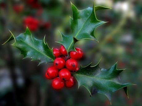 Acebo, planta unida inseparablemente a la Navidad Photo by Jacinta Lluch Valero from flickr