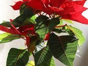 Cómo mantener viva Planta Navidad (Poinsettia)